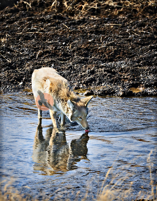 Coyote drinking in river in Yellowstone National Park