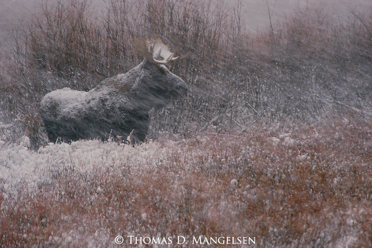 With the season of the rut coming to an end, a bull moose settles into the quiet atmosphere of willow thickets and the first snowfall of autumn in Grand Teton National Park, Wyoming.