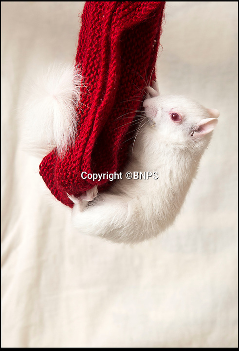 BNPS.co.uk (01202 558833)<br /> Pic: PhilYeomans/BNPS<br /> <br /> Knitted hammock is now home.<br /> <br /> All white now - lucky white squirrel is saved from an early grave.<br /> <br /> Two weeks ago this rare albino squirrel was at death's door - but the fluffy little fighter is doing all-white now.<br /> <br /> The unusual-coloured critter was found by the RSPCA in a waterlogged cardboard box, shivering and with a bloody face.<br /> <br /> Wildlife rescue workers thought she would not survive but the squirrel, now called Polly, has defied the odds and is fighting fit.<br /> <br /> Poppy Velosa-Ayres, a foster carer for Folly Wildlife Rescue, thinks Polly was rejected by her mother and pushed from the nest because of her white fur, which would make her an easy target for predators.