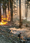 US Forest Service Horseshoe Meadow Hotshots use drip torches to burn out fuels along Tioga Road between Gin Flat and White Wolf in Yosemite National Park.