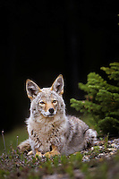 Coyote (Canis latrans) resting.  Northern Rockies, summer.