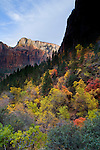 Fall colors on trees below cliffs in Zion Canyon, Zion National Park, Utah