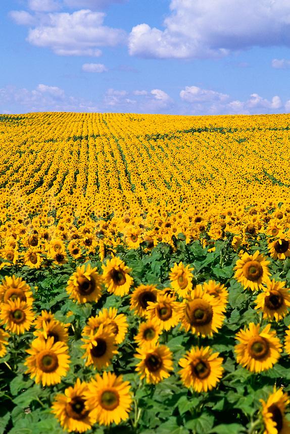 Wild colors of sunflowers in Jamestown North Dakot