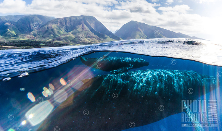 A mother humpback whale and her calf swim in the clear blue water off the coast of West Maui.