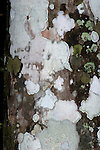 Various Lichen on Tree trunk in jungle, Panama, Central America, Gamboa Reserve, Parque Nacional Soberania