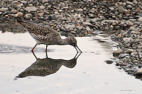 A greater yellowlegs forages in the Kenai River for its next meal.