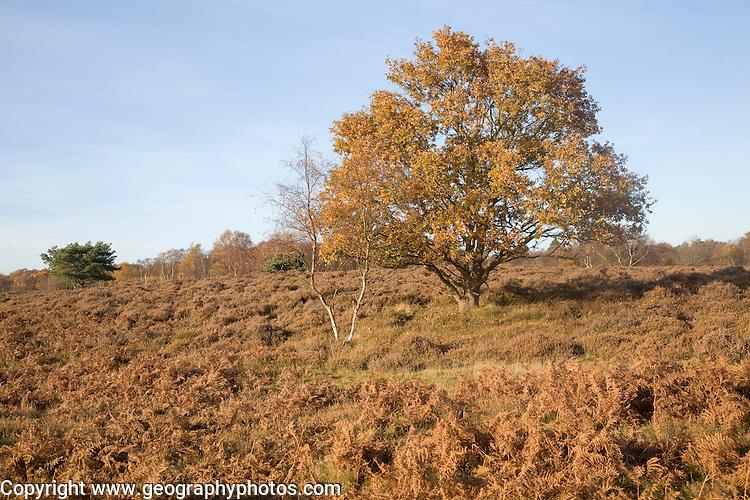 Quercus robur oak tree in autumn colour on Westleton Heath heathland near Dunwich, Suffolk, England