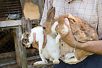 Pair of Rex Domestic rabbits