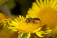 Spined Mason-bee - Osmia spinulosa