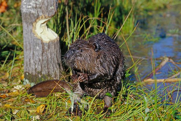 American Beaver (Castor canadensis) near aspen tree it is cutting.
