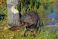 American Beaver (Castor canadensis) near aspen tree it is cutting.