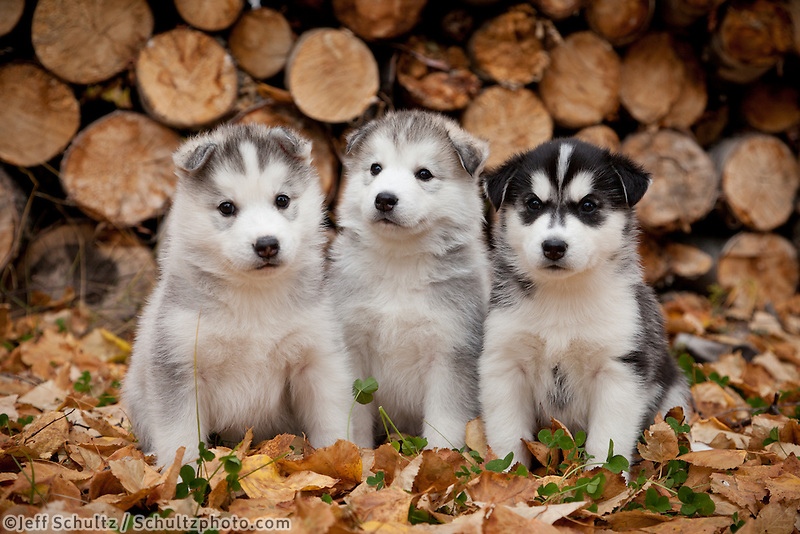 """Siberian Husky Puppies Sit In Autumn Leaves In Front Of A Stack Of Firewood Logs, Alaska"""