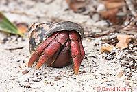 0104-1203  Caribbean Hermit Crab (Soldier Crab), On Half-Moon Caye in Belize, Coenobita clypeatus  © David Kuhn/Dwight Kuhn Photography