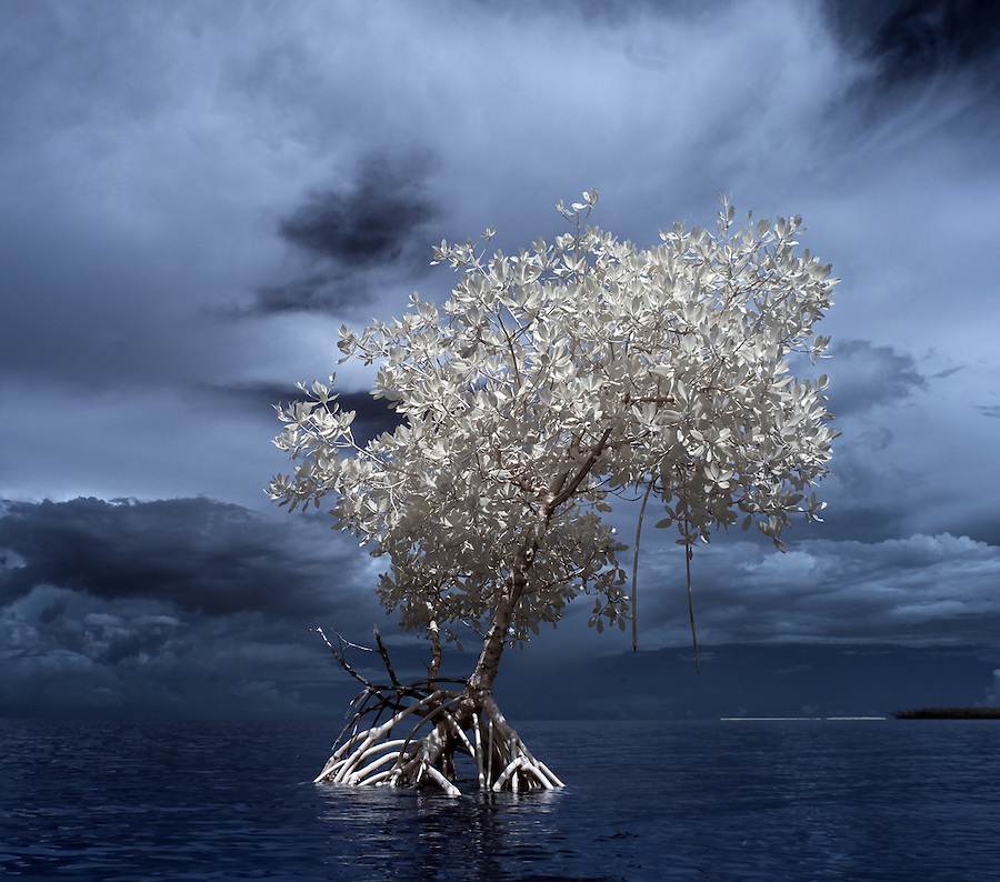 Lone mangrove tree near Duck Key photographed using infrared Canon 5D Mark II camera in Florida's Everglades National Park out of Chokoloskee Island and the 10,000 Islands National Wildlife Refuge. Photo/Andrew Shurtleff