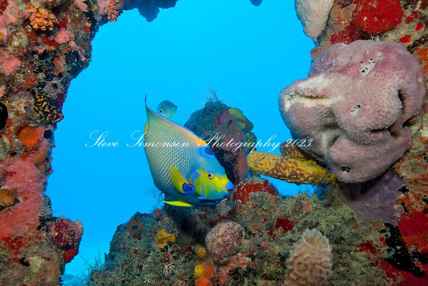 A Queen angelfish near the propeller of the Suffolk Maid shallow wrecks of Butler Bay  St. Croix US Virgin Islands