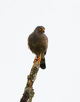Gray-lined hawk