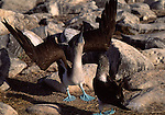 blue-footed boobies in courtship ritual
