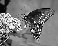 I watched the buterfly work over the flower, probing with its long proboscus into each blossom.