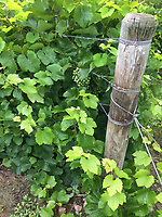 Grape Vines, Grapes and Vine Post are shown at the end or a vine row, Seneca, County New York in the Finger Lakes Region