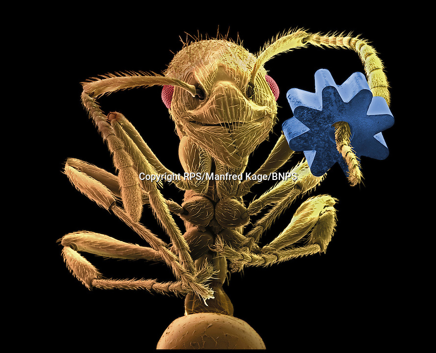 BNPS.co.uk (01202) 558833<br /> Picture: RPS/Manfred P Kage<br /> <br /> **please use full byline/single use only**<br /> <br /> Coloured scanning electron micrograph of a Leafcutter Ant holding a gear from a micromechanical device by Manfred P Kage. The gear is about 0.1mm wide.<br /> <br /> Stunning photographs from the prestigious Royal Photographic Society's latest exhibition prove that science and beauty can co-exist. There 100 sensational images come from various disciplines of science and highlight how important photography is for academics. Photography plays a crucial role in medicine, forensic science, engineering, archaeology, oceanography, natural history and many more areas. The International Images for Science exhibition launches at the Great North Museum in Hancock, Newcastle, tomorrow (Sat), and showcases works from 54 scientists from around the world.