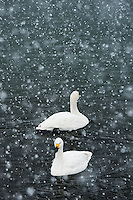 Tundra swans (Cygnus bewickii) overwintering on Lake Suwa in Nagano Prefecture, during a heavy snowfall, winter 2014.