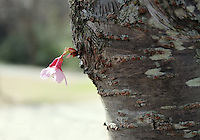 Stock photo - a delicate single cherry blossom flower grown on the bark.
