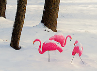 Plastic Pink Flamingos survive the winter blast of December in a winter garden in suburban Wilkl County, Illinois