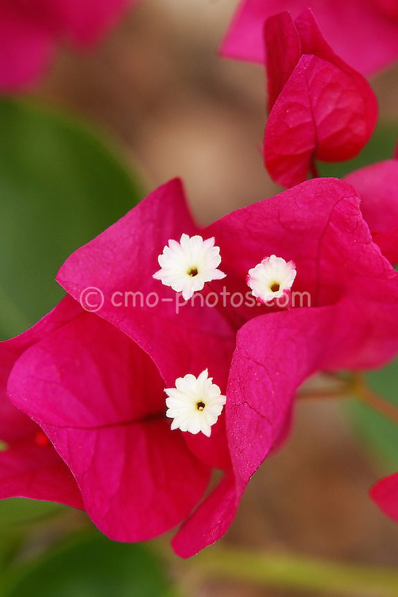 Bougainvillea flower, shot in Tucson, AZ during monsoon season