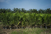 Young palm trees are seen in the nursery of  the Kerasaan palm plantation in Sumatra, Indonesia. Photo: Sanjit Das/Panos