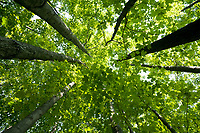 Looking upwards into the green canopy of maple leaves in the summer woods.