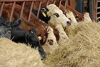Richard Findlay and William Wardman. Beef feature..Suckler cows on William Wardman's farm.