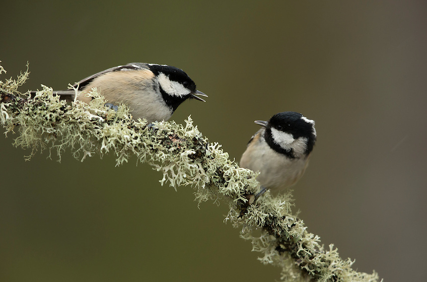 Coal tit Parus ater, pair perched on lichen covered branch, Cairngorms National Park, Scotland, UK, January