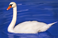 White Swan on extreem blue water