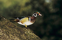 Wood Duck, Aix sponsa, male on Oak tree, New Braunfels, Texas, USA