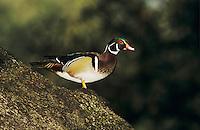 Wood Duck, Aix sponsa, male on Oak tree, New Braunfels, Texas, USA