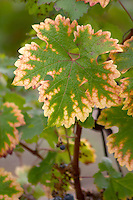 Vine leaf. Cabernet Sauvignon. Chateau Liversan, Domaines Lapalu, Haut Medoc, Bordeaux, France