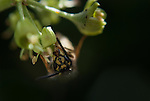 A macro of a wasp spp. of the order Hymenoptera, drinking nectar from a flower. Taken with an inverted 50mm.