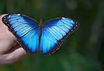 Blue Morphus Butterfly sitting on a man's hand with wings spread wide, against a green background