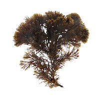 sea flaxweed<br /> Stypocaulon scoparium