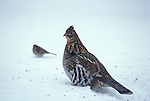 Ruffed grouse, Bonasa umbellus, game bird, gallinaceous, feeding at home feeder<br />