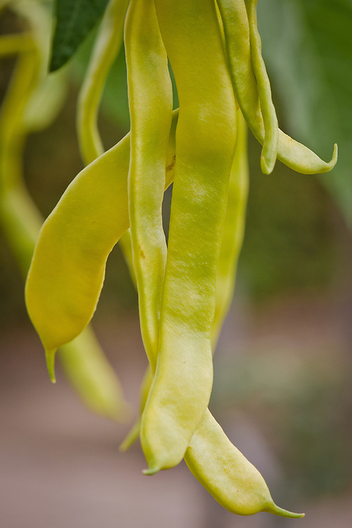 Climbing bean 'Goldfield', with stringless, flat, yellow pods.
