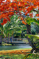 Man on bridge with flowering tree in foreground at Smith's Tropical Paradise gardens on the island of Kauai