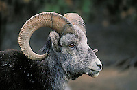 Stone Sheep ram - black phase subspecies of Dall Sheep..Stone Mountain, British Columbia. Canada..(Ovis dalli).