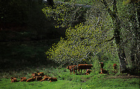 Europe/France/Midi-Pyrénées/81/Tarn/env de Lacaune :Vaches en paturage dans le Massif du Sidobre