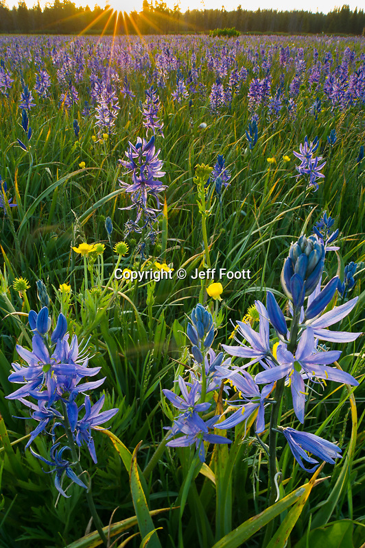 Common Camas, (Camassia quamash) in meadow near Yellowstone National Park at sunset.