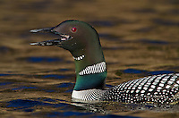 Common Loon (Gavia immer) calling--a loon call on a quiet lake is one of the great nature sounds across northern North America.  Summer.  Sometimes also called Great Northern Loon or Diver.