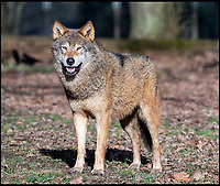 BNPS.co.uk (01202 558833)<br /> Pic: PhilYeomans/BNPS<br /> <br /> Alpha male Jango.<br /> <br /> If you go down to the woods today...<br /> <br /> You will spot this pack of European wolves (Canis lupus lupus) - once native to Britain - that are settling in to a woodland enclosure at Longleat Safari Park in Wiltshire.<br /> <br /> The eight strong pack includes Alpha male Jango, mum Eliska and their six pups.<br /> <br /> Keeper Amy Waller 'There's something truly special about seeing a species, which was once common in the UK, being back patrolling are woodland'.