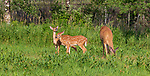 White-tailed doe and fawns feeding in a northern Wisconsin field.