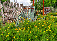 Agave Century plants, yuccas and wildflower along a cedar post fence in the Texas Hill country.