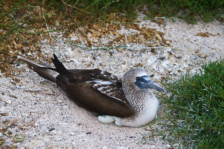Blue-footed Booby proudly nestled down on eggs, two of which are visibile, on white island sand tucked in behind green plants.